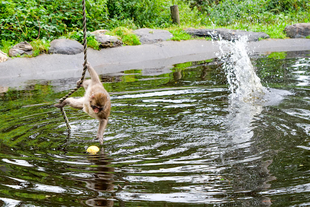 Affenberg Burg Landskron - Japanmakak angelt nach einem Apfel. Heute keine Lust zum Schwimmen? - Kärnten, Österreich