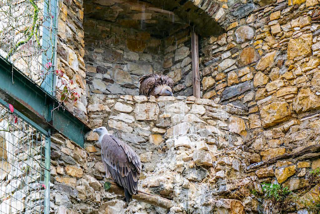 Greifvogelpark Landskron - große Voliere mit Gänsegeiern - Kärnten, Österreich