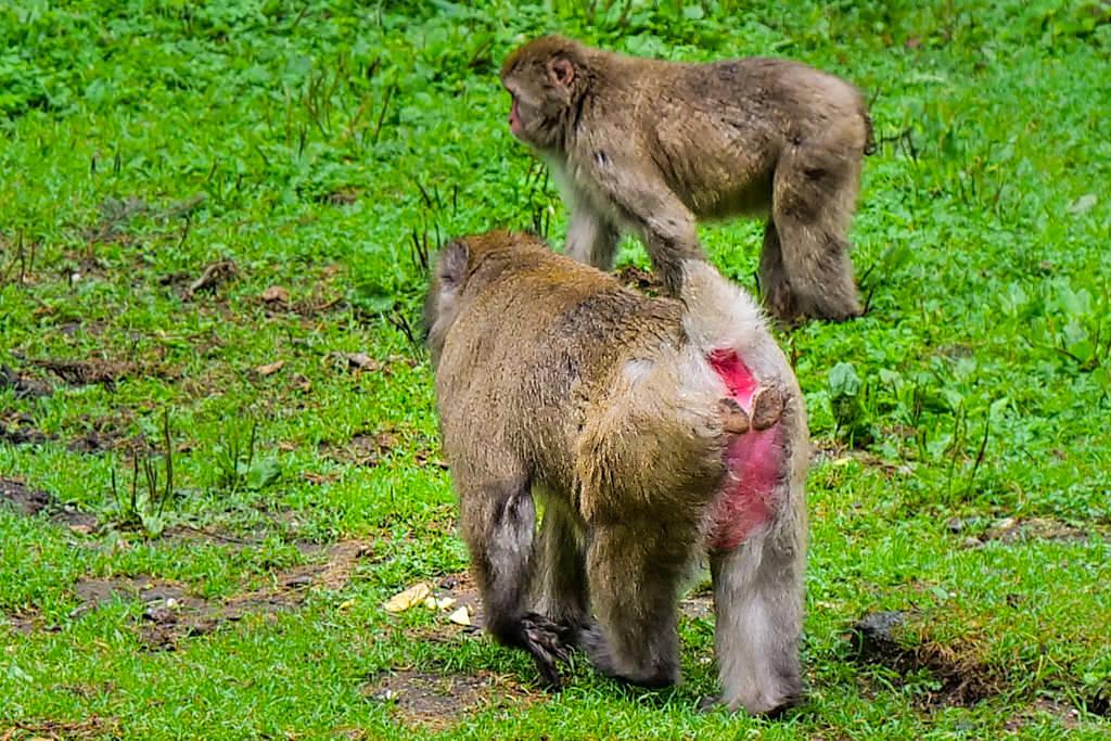 Japanmakaken - die am weitesten im Norden lebenden tierischen Primaten - Kärnten, Österreich