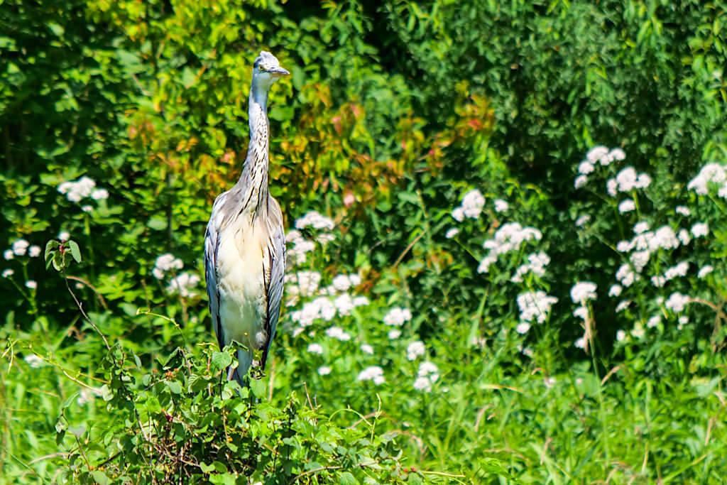 Graureiher und andere Vögel während der Altmühltal Schifffahrt nach Riedenburg - Altmühl Main-Donau-Kanal - Bayern