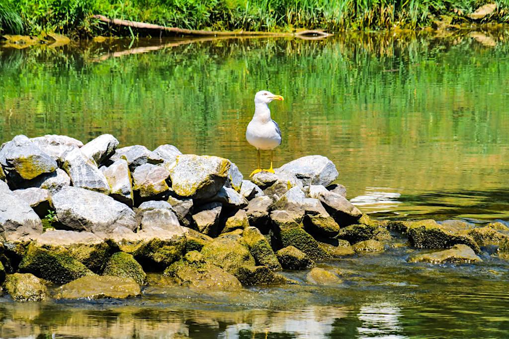Viele Vögel sind auf der Altmühltal Schifffahrt zu seinen -Mittelmeer-Möwe - Altmühl Main-Donau-Kanal - Bayern
