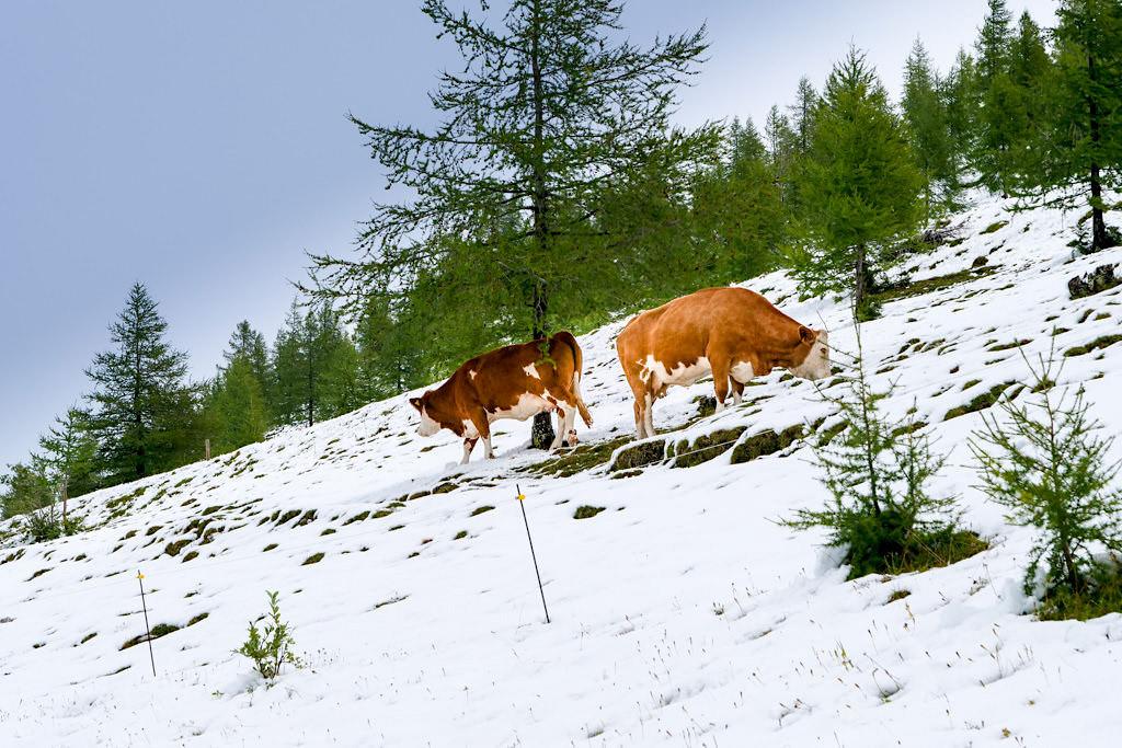 Nockalmstraße - Wetterumsturz im Sommer & Kühe im Schnee - Kärnten, Österreich