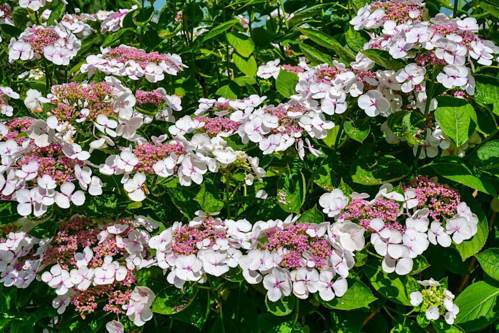 Hortensien Blütenmeer im Juli - Blumeninsel Mainau - Baden-Württemberg