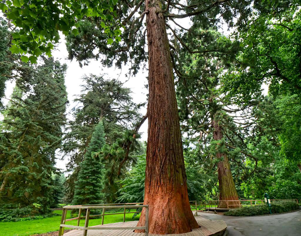 Insel Mainau - Welt der Baumgiganten: Bergmammutbaum im Arboretum - Baden-Württemberg