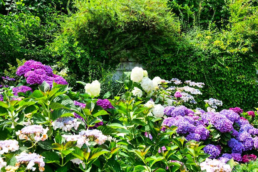 Mainau im Sommer - Großartige, riesige Hortensienblüten säumen die Wege - Baden-Württemberg