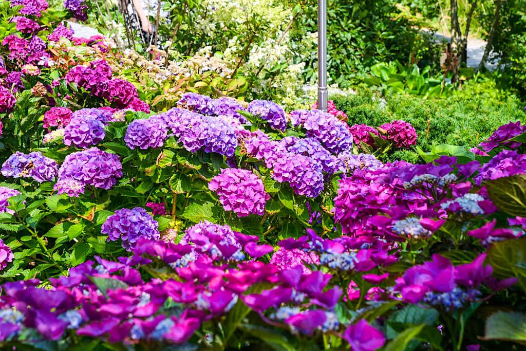 Blumenparadies Mainau - Dachgarten & Hortensienweg im Sommer - Baden-Württemberg