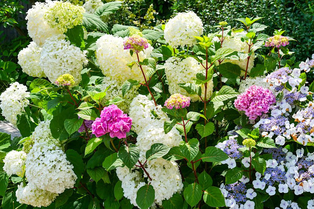 Insel Mainau - Juli ist die Zeit der Hortensienblüte - Baden-Württemberg