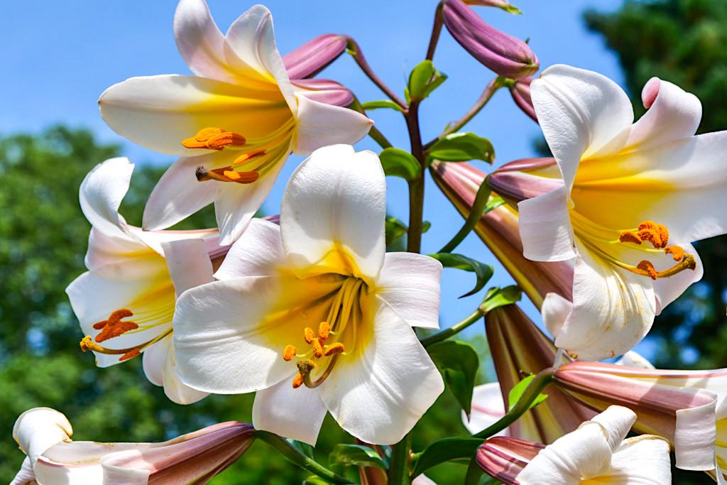 Blumenparadies Insel Mainau - Wunderschöne Blüten der Königs-Lilie - Baden-Württemberg