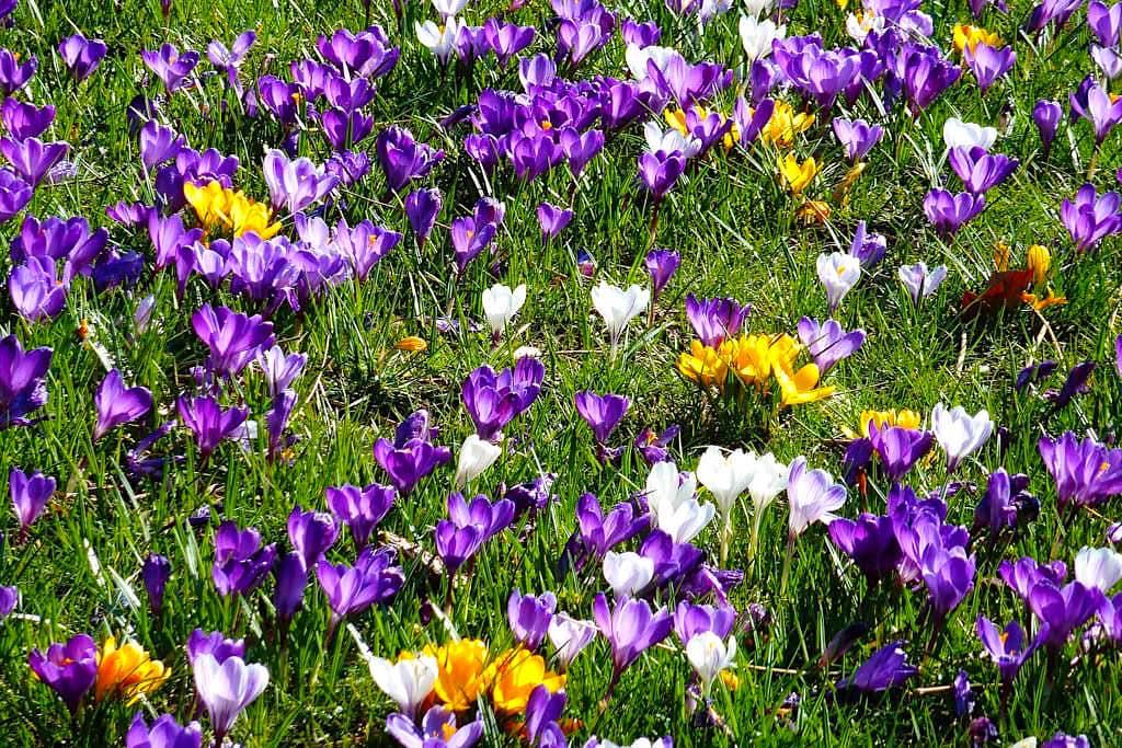 Insel Mainau im Frühling - Krokusblüte und Krokusfelder - Baden-Württemberg