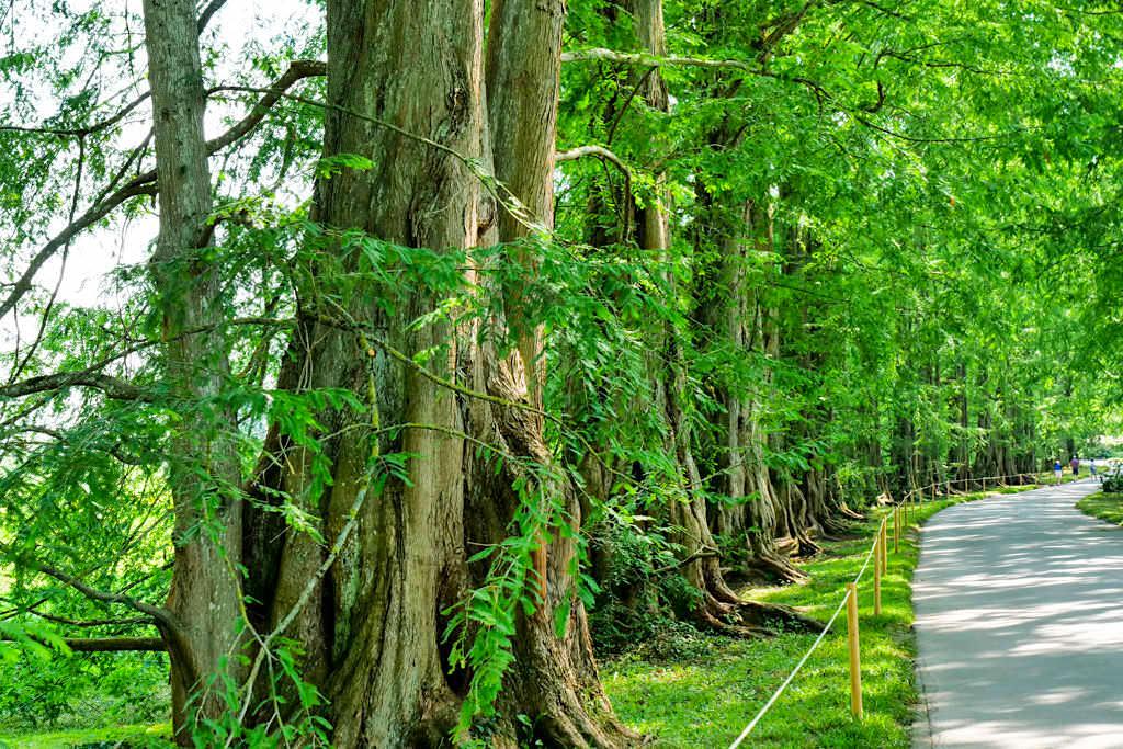 Insel Mainau - Welt der Baumgiganten: Metasequoia-Allee - Baden-Württemberg
