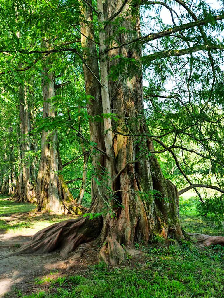 Insel Mainau - Welt der Baumgiganten: Metasequoia oder Chinesisches Rotholz - Baden-Württemberg
