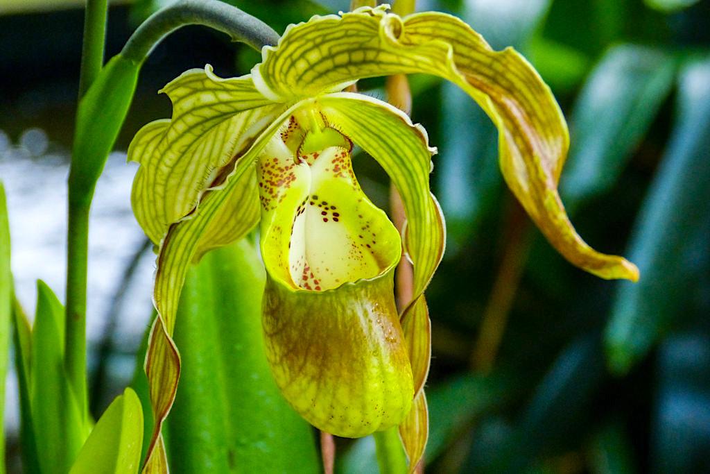 Insel Mainau im Frühling - Große Orchideenschau im Palmenhaus - Baden-Württemberg