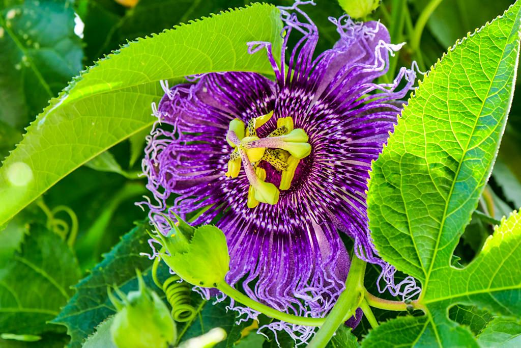 Insel Mainau - Wunderschöne Passionsblumen auf den Mediterran-Terrassen - Baden-Württemberg
