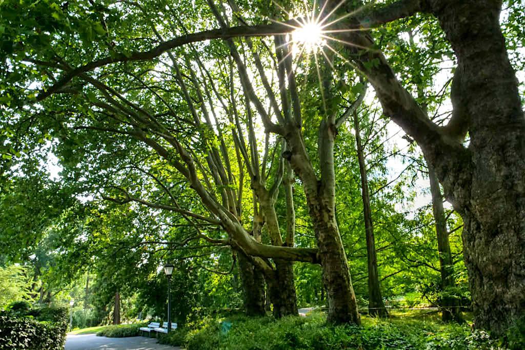 Welt der Bäume auf der Insel Mainau - Schattenspendender Platanenweg - Baden-Württemberg