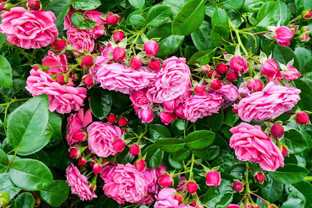 Insel Mainau - Italienischer Rosengarten mit mehr als 1000 Rosensorten und 12000 Rosenpflanzen - Baden-Württemberg