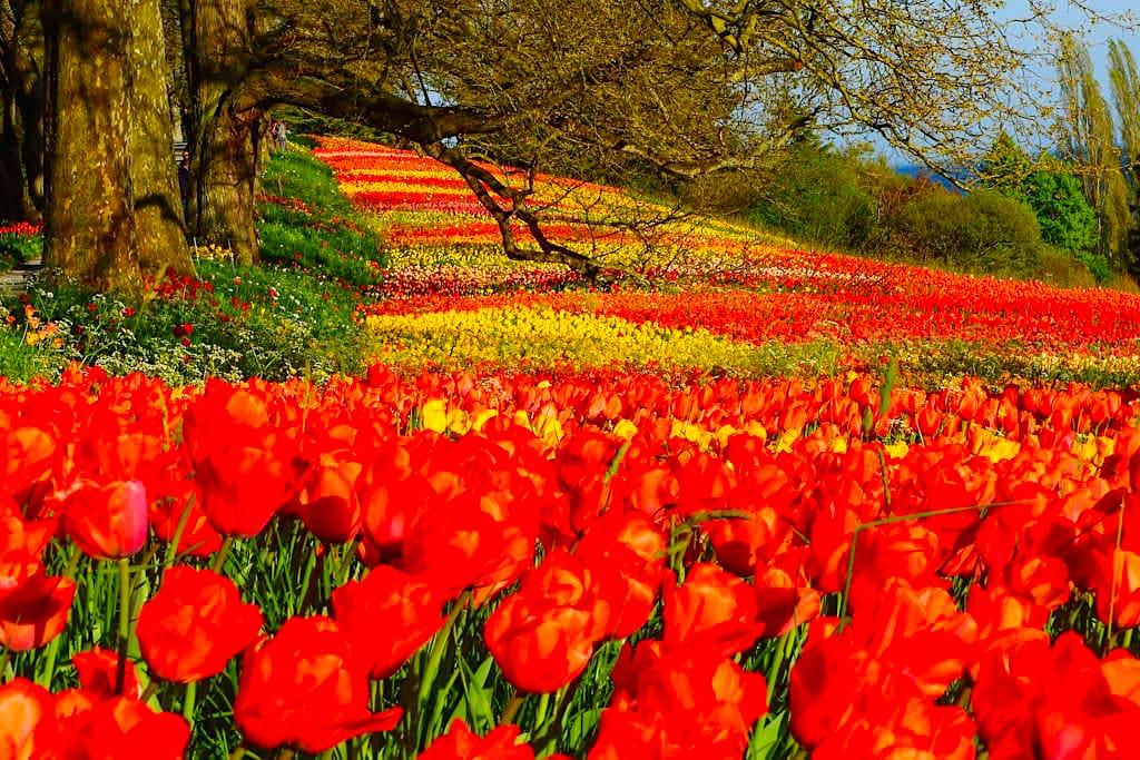 Mainau im Frühling - Bunte Tulpenfelder sind die Frühlingsattraktion der Blumeninsel - Baden-Württemberg