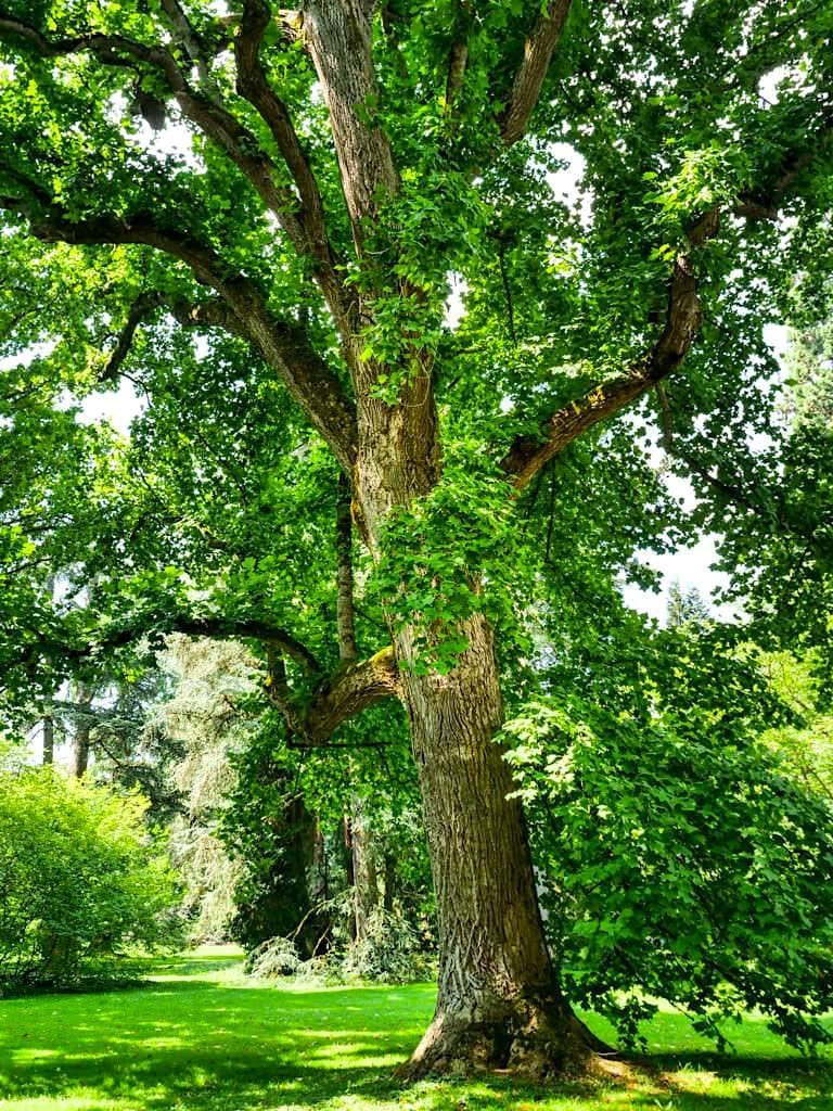 Insel Mainau - Welt der Bäume: Tulpenbaum: einer der ältesten Bäume der Insel - Baden-Württemberg