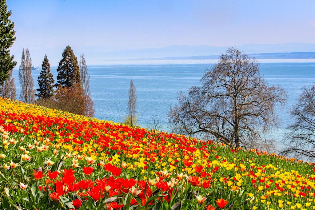 Mainau im Frühling - Gigantische Tulpenfelder sind die Frühlingsattraktion der Mainau - Baden-Württemberg