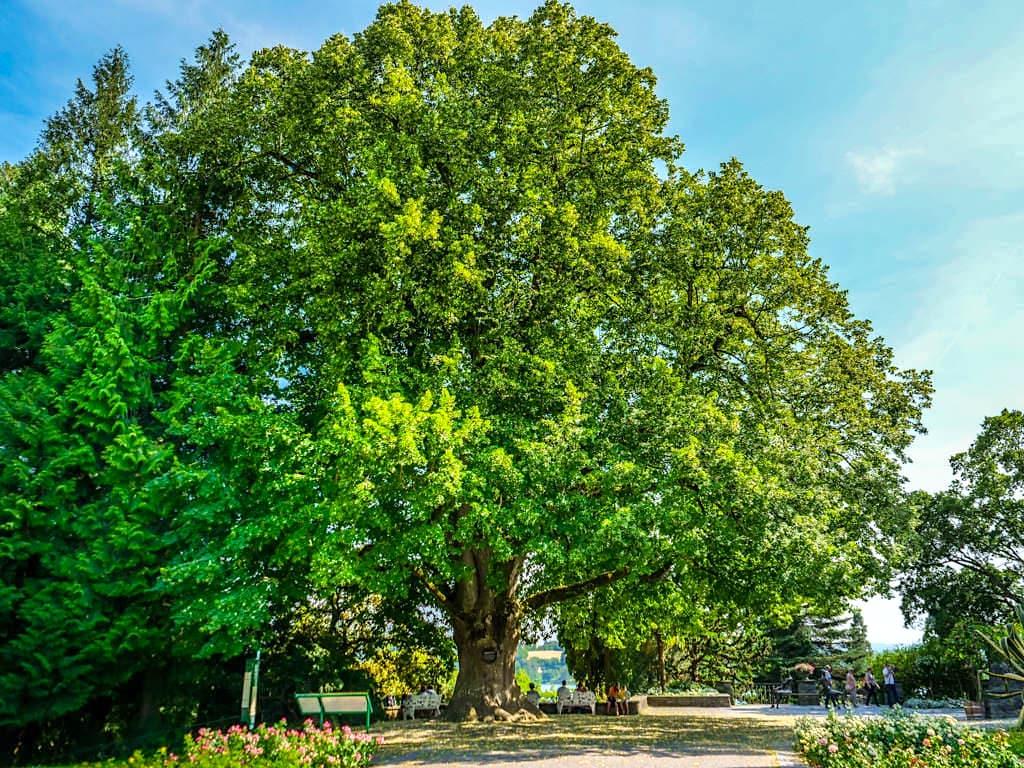 Welt der Baumgiganten auf der Insel Mainau - Prachtvolle, riesige Viktoria Linde - Baden-Württemberg