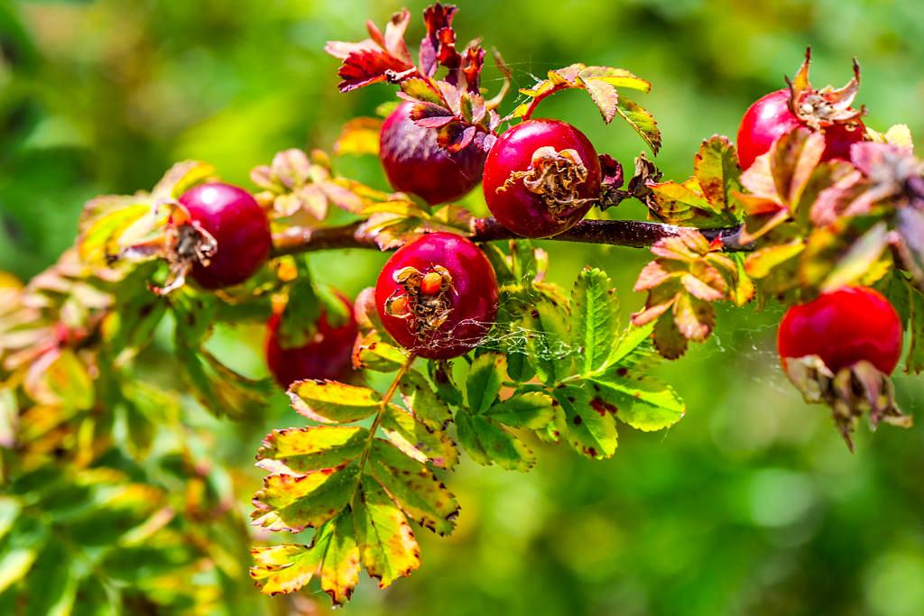 Insel Mainau - Wildrosen und Strauchrosen Promenade: die Früchte der Wildrosen sind die Hagebutten - Baden-Württemberg