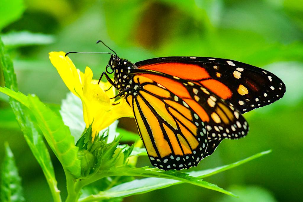 Monarchfalter ist heimisch in Nordamerika - Schmetterlingshaus Insel Mainau - Baden-Württemberg