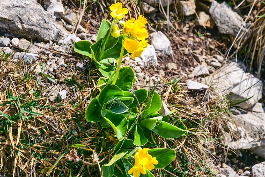 Alpenaurikel - Wildblumen der Bergregionen - Herzogstand Heimgarten Rundwanderung - Bayern