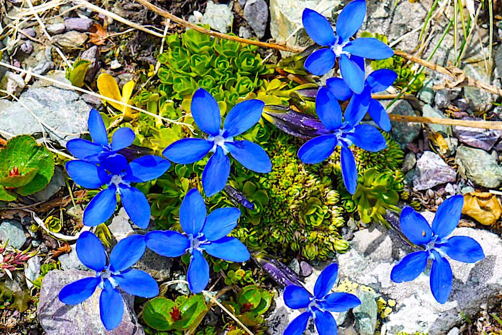 Frühlingsenzian - Wildblumen der Bayerischen Voralpen - Herzogstand Heimgarten Rundwanderung - Bayern