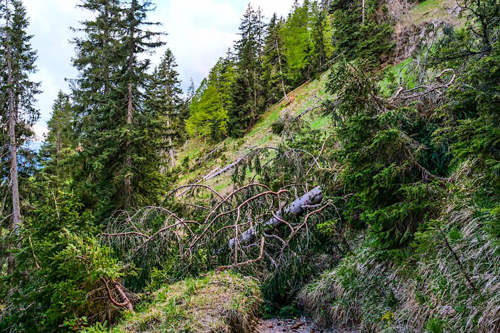 Heimgarten Wanderung - Umgestürzte Bäume versperren den Weg bis sie von Forstarbeitern weggeräumt werden - Bayern