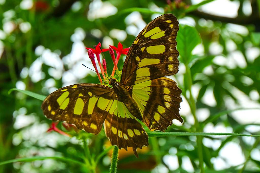 Insel Mainau - Exotische Schmetterlinge aus aller Welt im zweitgrößten Schmetterlingshaus in Deutschland - Baden-Württemberg