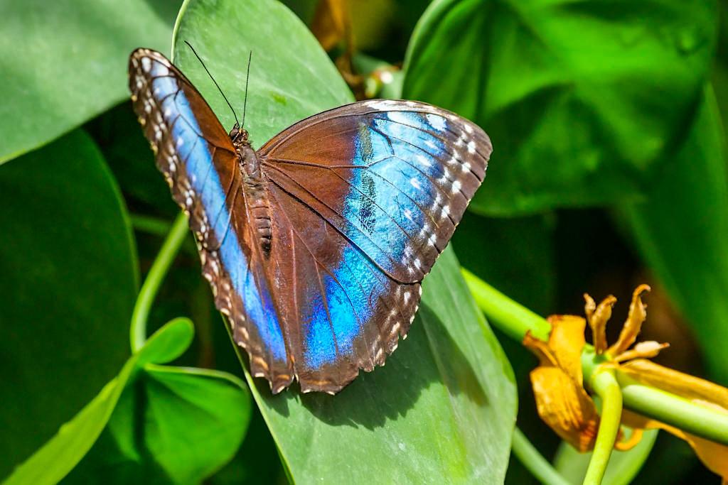 Das Mainau Schmetterlingshaus ist eine der Hauptattraktionen der Insel - Blauer Morphofalter (Morpho peleides) oder Himmelsfalter - Baden-Württemberg