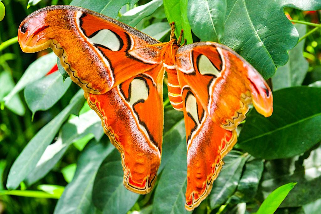 Mainau Schmetterlingshaus - Der Atlasspinner ist der größte unter den Schmetterlingen - Baden-Württemberg