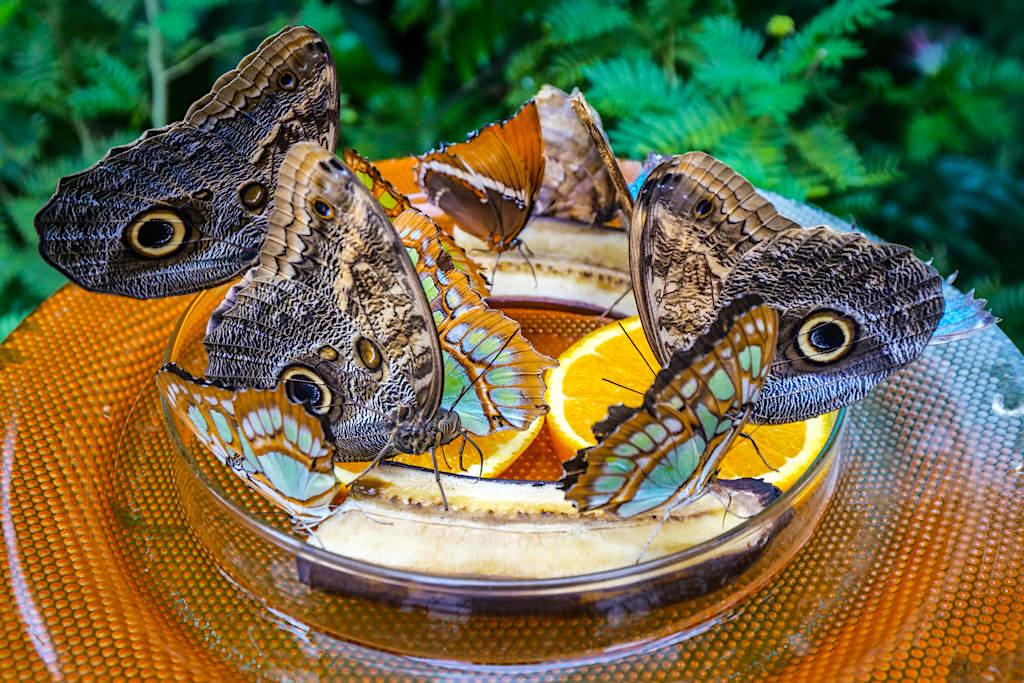 Schmetterlingshaus der Insel Mainau - Futterstelle für Schmetterlinge: hier sitzen die quirligen Falter still und lassen sich gut fotografieren und beobachten - Baden-Württemberg
