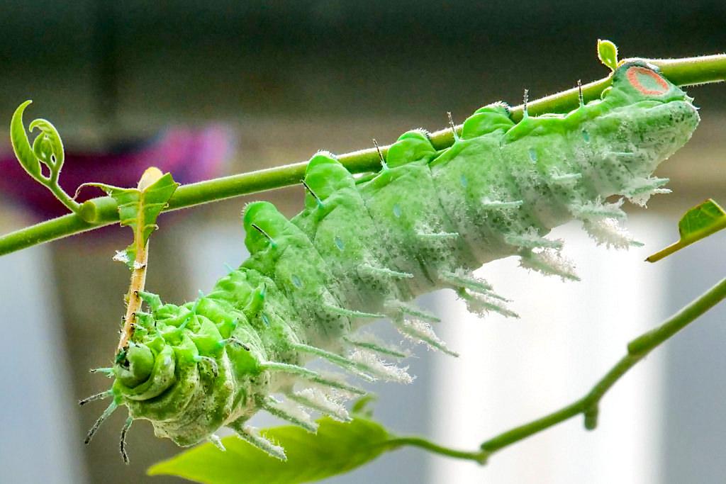 Schmetterlingshaus Mainau - Die Raupe des Atlasspinners sieht wie ein gefräßiger Alien aus - Baden-Württemberg