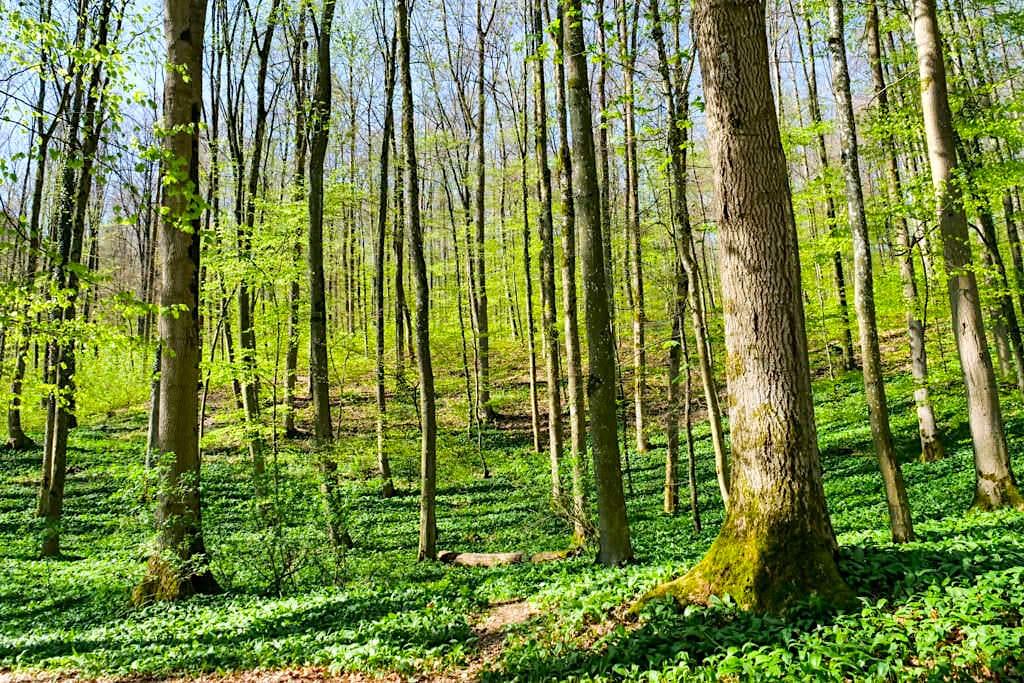 Steinerne Rinne - Alles voller Bärlauch im Frühjahr - Altmühltal - Bayern