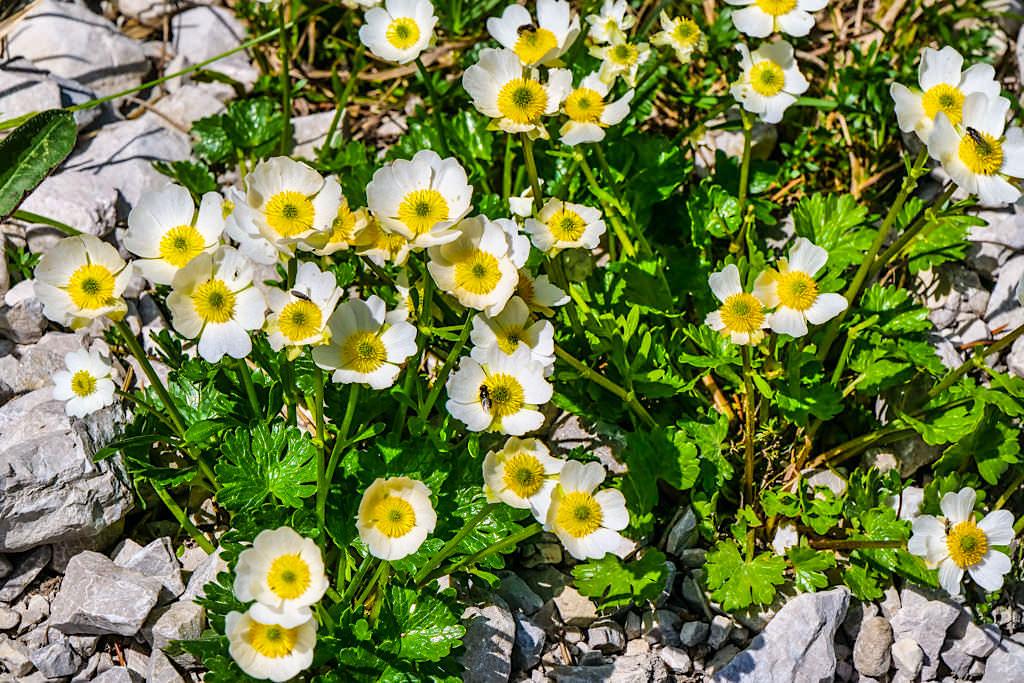 Weiße Silberwurz - Faszinierende Widlblume in den Alpenregionen, die über 100 Jahre alt wird - Bayern
