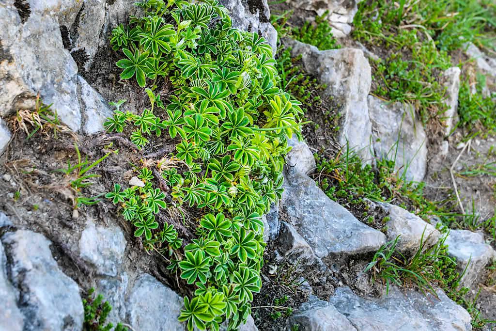 Faszinierende Wildblumen & Pflanzen bei Herzogstand Heimgarten Rundwanderung - Bayern