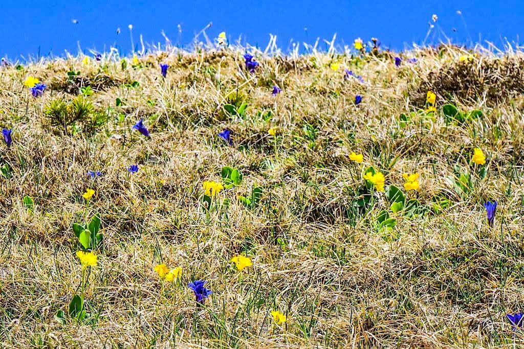 Wildblumen-Wiesen bei der Herzogstand Heimgarten Überschreitung und Rundwanderung - Bayern