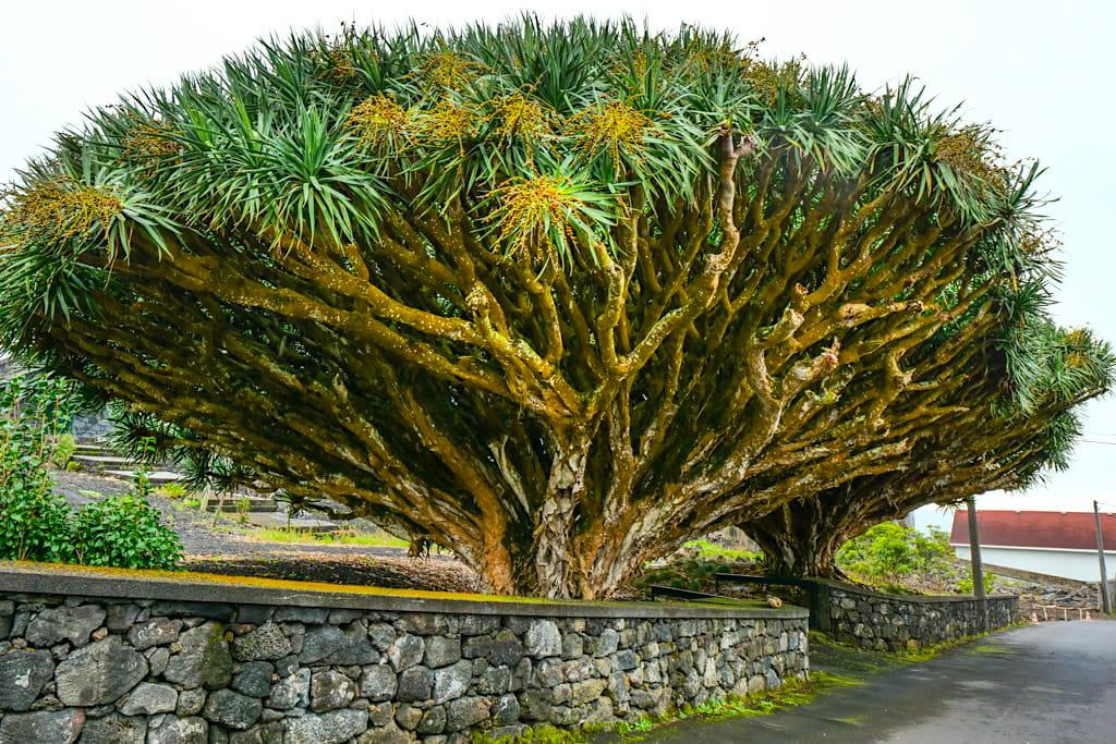 Riesige endemische Drachenbäume - hier bei Sao Mateus auf der Insel Pico - Azoren