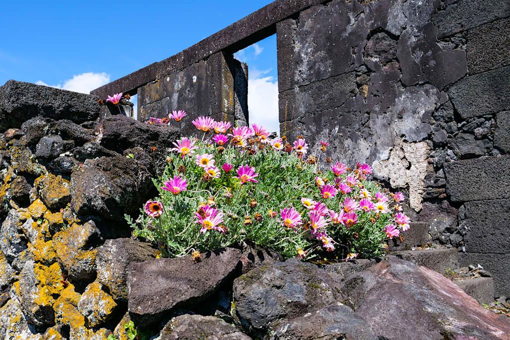 Sao Joao - Ruinen des des vom Erdbeben zerstörten Dorfes, die sich die Natur mit seinen vielen Blumen & Pflanzen zurückholt - Insel Pico Sehenswürdigkeiten - Azoren