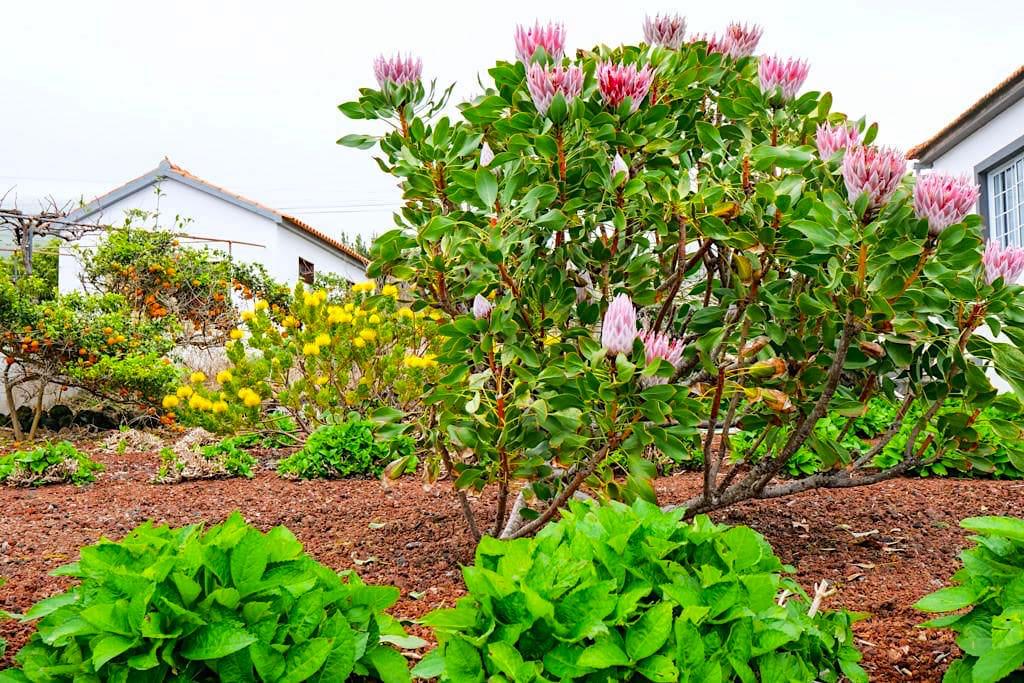 Sao Mateus - Subtropische Gärten begeistern mit ihren Farben und Blüten - Insel Pico, Azoren