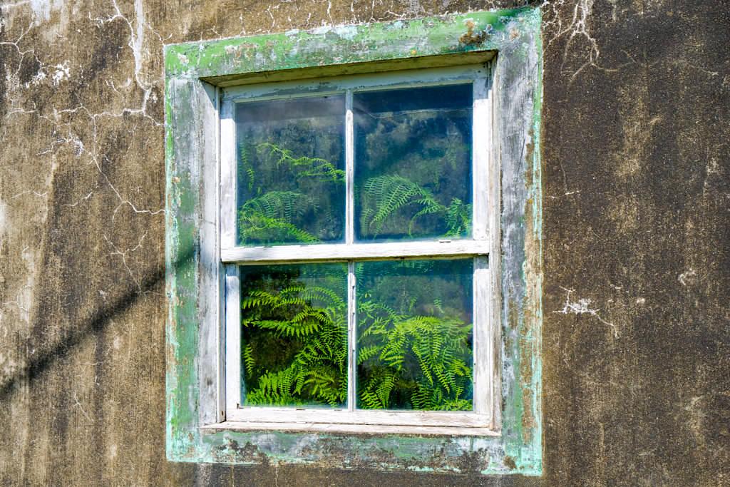 Verfallenes Haus mit wildem Farn hinter dem Fenster - Calheta de Nesquim Wanderung - Pico, Azoren