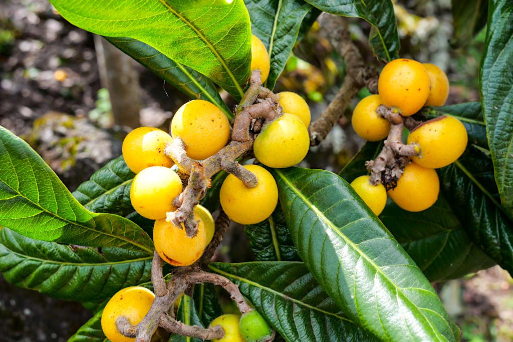 Nespera - Leckere Früchte auf der Insel Pico - Azoren Tipps & Reiseberichte
