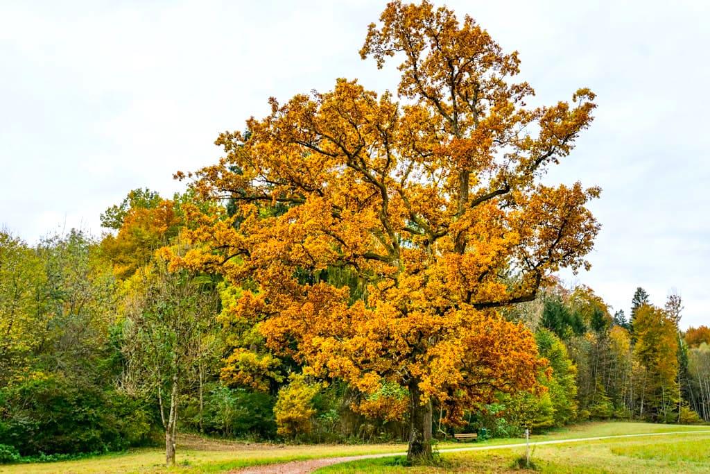 Gigantische Bäume auf der Maisinger Schlucht bzw. Maisinger See Wanderung von Starnberg aus - Bayern