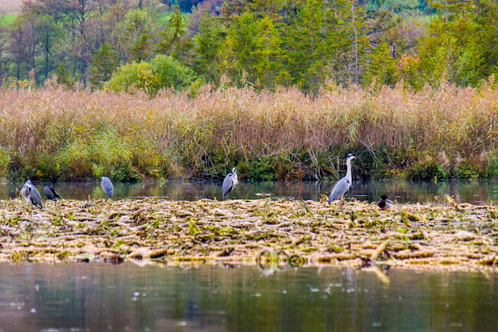 Maisinger See ist ein wichtiges Vogelschutz- & Naturschutzgebiet nahe Starnberg, Bayern