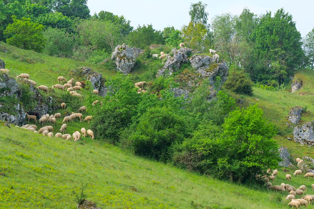 Schafherde und Ziegen räumen die Magerrasen & Wacholderheiden frei - Donau-Ries Landschaften - Bayern