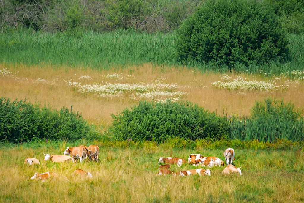 Dattenhauser Ried - Kühe in der Moorlandschaft - Sehenswürdigkeiten auf dem DonauTäler Radweg Heideterrasse im Dillinger Land, Bayern