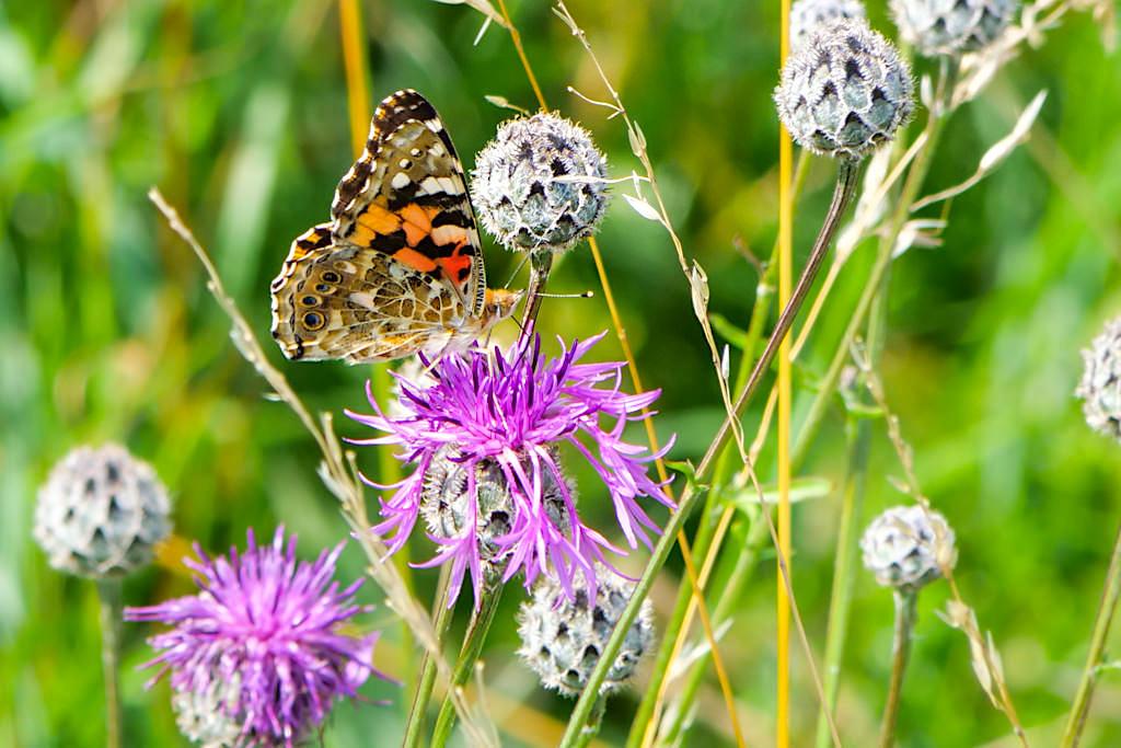 Pfauenauge - Ein Paradies für Schmetterlinge im Dattenhauser Ried - DonauTäler Radwege Etappe Heideterrasse im Dillinger Land, Bayern