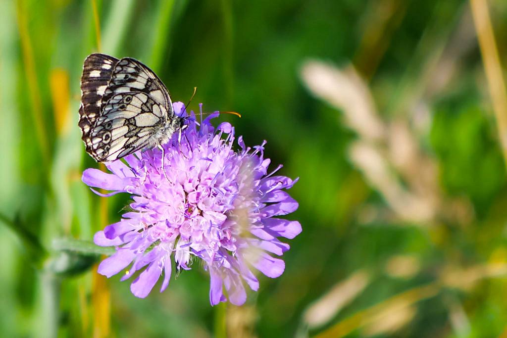 Schachbrett Schmetterling - Tausende von Schmetterlingen im Dattenhauser Ried - Sehenswürdigkeiten auf den DonauTäler Radwegen im Dillinger Land, Bayern